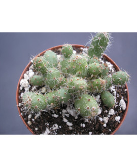 OPUNTIA MINOR