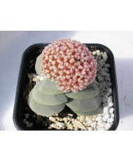 CRASSULA MORGANS BEAUTY