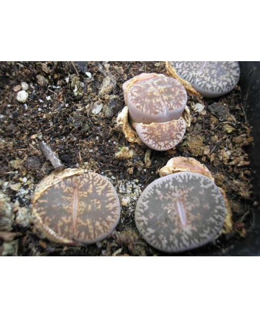 C341 L, lesliei subsp, lesliei var, lesliei [Kimberley form]