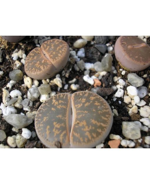 C010 L, lesliei subsp, lesliei var, lesliei
