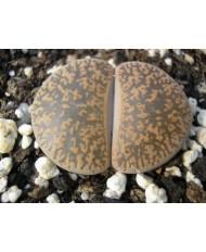 C018 L, lesliei subsp, lesliei var, lesliei