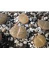 C028 L, lesliei subsp, lesliei var, lesliei