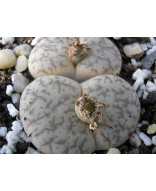 C068 L, pseudotruncatella subsp, pseudotruncatella var, pseudotruncatella [*alpina]