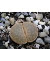 C152 L, lesliei subsp, lesliei var, mariae