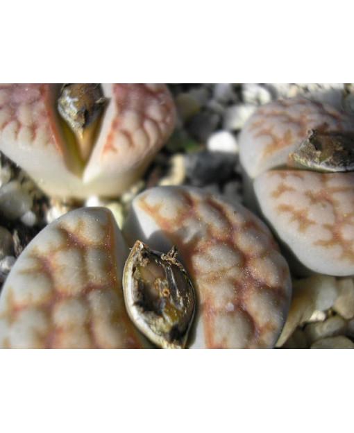 C168 L, karasmontana subsp, karasmontana var, karasmontana [*mickbergensis]