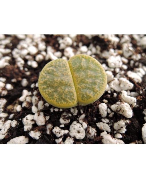 C36A L. lesliei lesliei lesliei Albinica