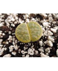 C036A L. lesliei lesliei lesliei Albinica