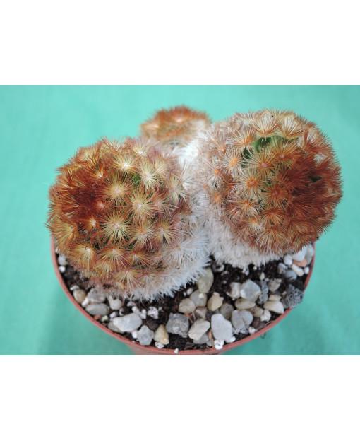 Mammillaria carmenae v. rubra