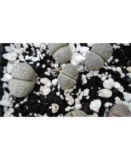 C214 L. marmorata elisae