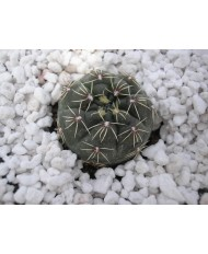 GYMNOCALYCIUM AMERSHAUSER
