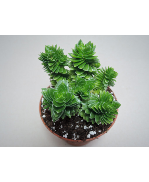CRASSULA STAGNOL
