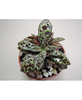CRASSULA EXILIS PICTURATA