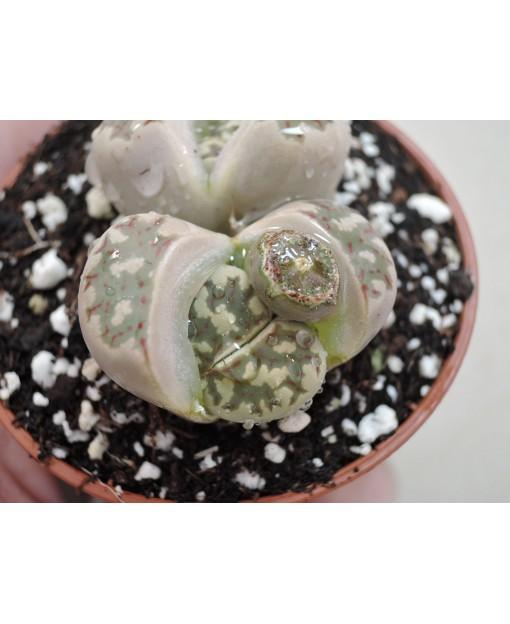 C300 L, dorotheae