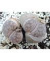 C067 L. pseudotruncatella p. p.