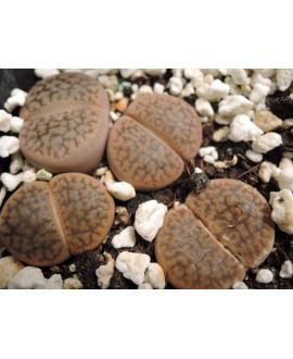 C35 L. hookeri marginata