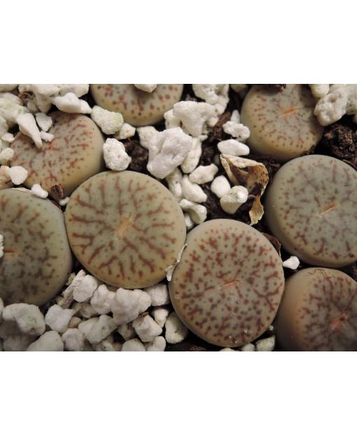 C070 L. pseudotruncatella pseudot. pseudot.