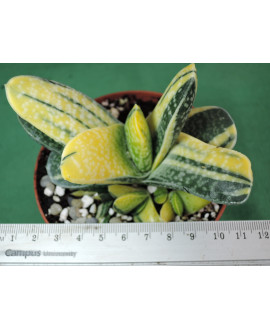 GASTERIA GRACILIS VARIEGATA(THE PLANT YOU SEE)