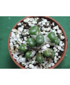 CONOPHYTUM SULCATUM(THE PLANTS YOU SEE)