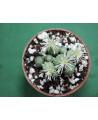 CONOPHYTUM TRUNCATUM WIGGETEAEHE JAH 285(THE PLANT YOU SEE)
