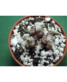 CONOPHYTUM OBCORDELLUM ROLFII R&Y 1820(THE PLANT YOU SEE)