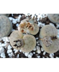100 MIX LITHOPS SEEDS