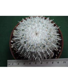 MAMMILLARIA PARKINSONII (THE PLANT YOU SEE)