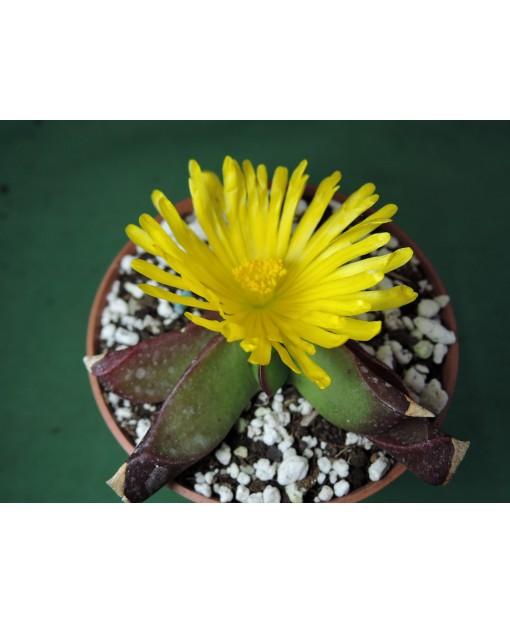 GLOTTIPHYLLUM DEPRESSUM(THE PLANT YOU SEE)