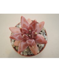 PACHYPHYTUM COMPACTUM RED TIPS