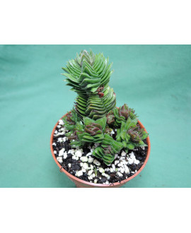 CRASSULA BUDDHAS TEMPLE (THE PLANT YOU SEE)