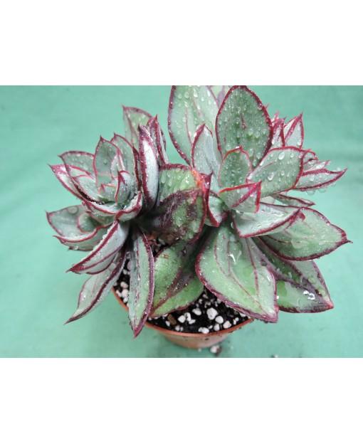 ECHEVERIA NODULOSA (THE PLANT YOU SEE)