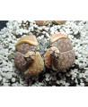 C015 L. lesliei hornii