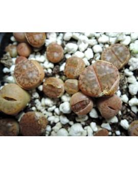 C041 L.bromfieldii var bromfieldii