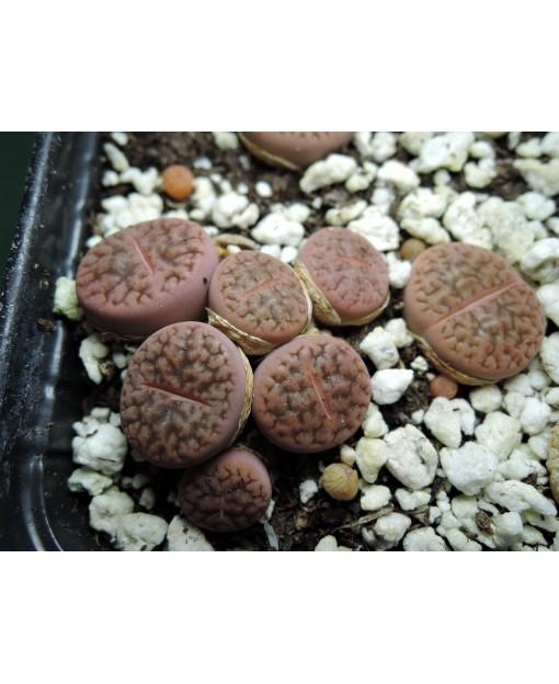 C335 L. hookeri Vermiculate form