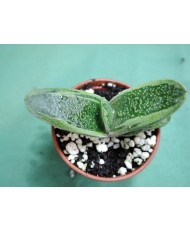 GASTERIA ARMSTRONGII HIYASHY GREEN (THE PLANT YOU SEE)