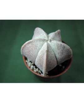 ASTROPHYTUM MYRIOSTIGMA VAR. (THE PLANT YOU SEE)