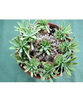 EUPHORBIA JAPONICA (THE PLANT YOU SEE)