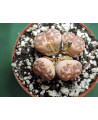LITHOPS C300 (THE PLANT YOU SEE)