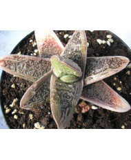 GASTERIA LITLLE WHORTY